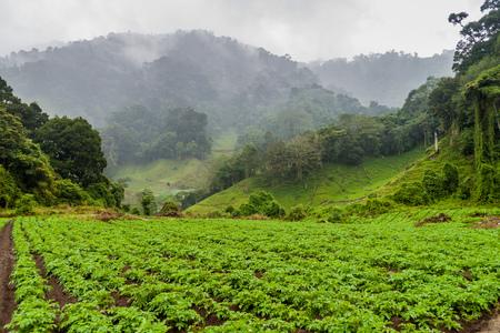 Vegetable fields near Bajo Grande village near Baru volcano, Panama 写真素材