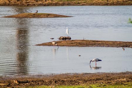 Egret and storks in a water reservoir in Udawalawe National Park, Sri Lanka Stock Photo