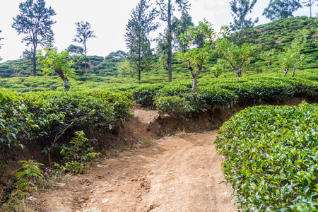 Tea plantations near Ella, Sri Lanka Stock Photo