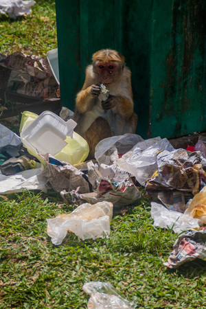 KANDY, SRI LANKA - JULY 19, 2016: Macaque eats food rests from a trash. 新聞圖片