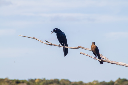 Great-tailed Grackle (male at left, female at right),  Quiscalus mexicanus, near Coba, Mexico Stock Photo