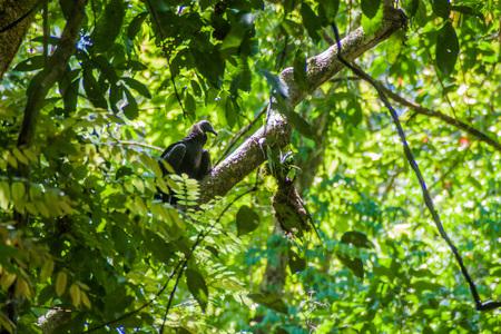 Juvenile species of Black Vulture (Coragyps atratus) in National Park Manuel Antonio, Costa Rica