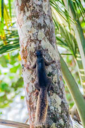 Variegated squirrel (Sciurus variegatoides) in Cahuita National Park, Costa Rica