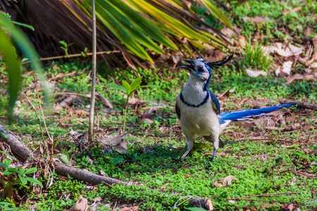 White-throated magpie-jay (Calocitta formosa) on Ometepe island, Nicaragua