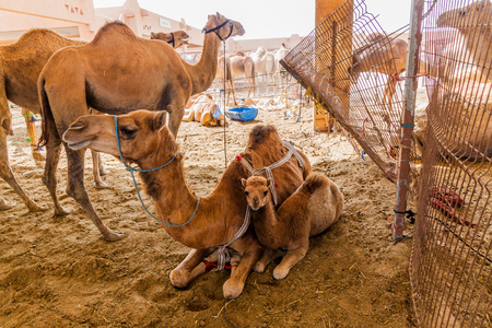 Camel cage at the Animal Market in Al Ain, UAE