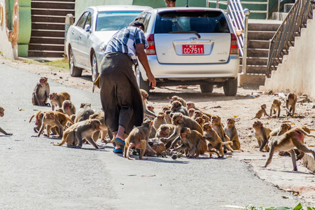MT POPA, MYANMAR - DECEMBER 8, 2016: Macaques being fed near Mt Popa temple, Myanmar Editorial