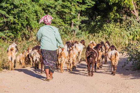 BAGAN, MYANMAR - DECEMBER 6, 2016: Female herder with her goats in Bagan, Myanmar