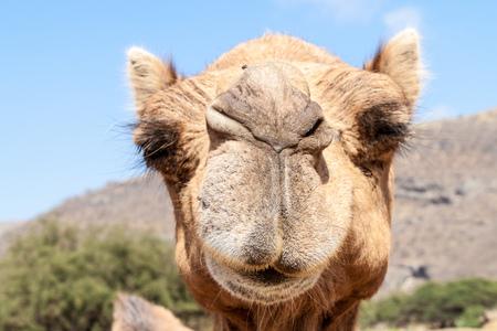 Camel in Wadi Dharbat near Salalah, Oman Stok Fotoğraf