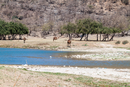 Camels at Wadi Dharbat near Salalah, Oman
