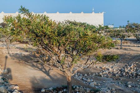 Frankincense tree (Boswellia sacra) near Salalah, Oman