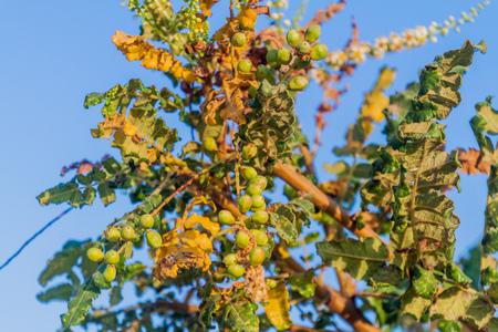 Detail of frankincense tree (Boswellia sacra) near Salalah, Oman
