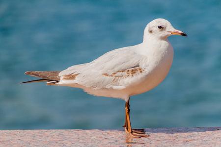 Black-headed gull (Chroicocephalus ridibundus) at Mutrah Corniche in Muscat, Oman