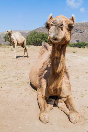 Camels in Wadi Dharbat near Salalah, Oman
