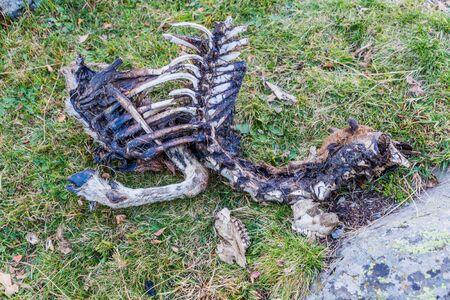 Deer carcass in Parc Natural Comunal de les Valls del Comapedrosa national park in Andorra