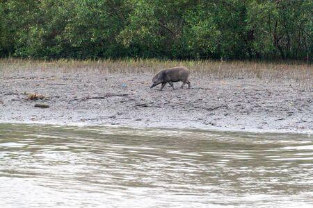Wild boar at Dublar Char (Dubla island), Bangladesh. Archivio Fotografico