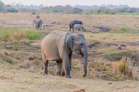Elephants in Kaziranga National Park, Assam state, India