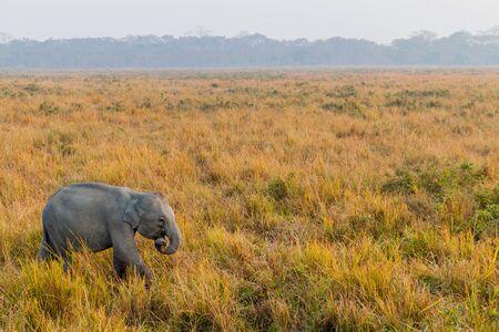 Elephant in Kaziranga national park, India