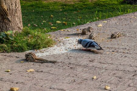Chipmunks and a pigeon at the Residency Complex in Lucknow, Uttar Pradesh state, India