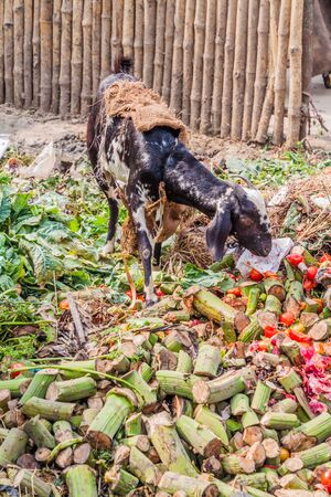 Goat eating rubbish at a vegetable market in Lucknow, Uttar Pradesh state, India Stock Photo
