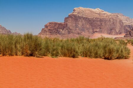 Vegetation of Wadi Rum desert, Jordan