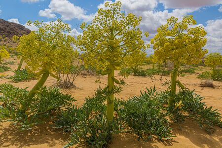 Ferula assa-foetida growing at Kyzylkum Desert in Uzbekistan