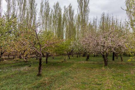 Cherry orchard in Zanjan, Iran Фото со стока