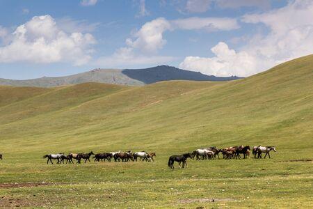 Herd of horses near Song Kul lake, Kyrgyzstan Stockfoto