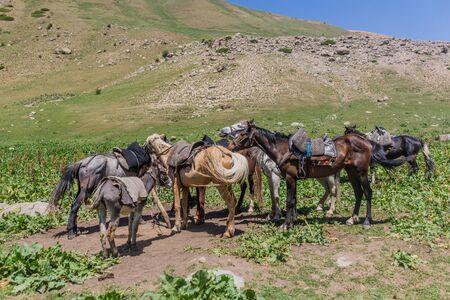 Several horsea and a donkey near Song Kul lake, Kyrgyzstan