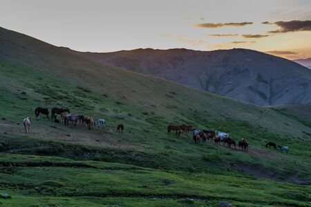 Sunset view of horses in the mountains near Song Kul lake, Kyrgyzstan