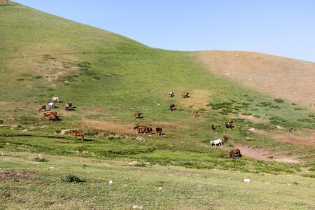 Herd of horses in the mountains near Song Kul lake, Kyrgyzstan