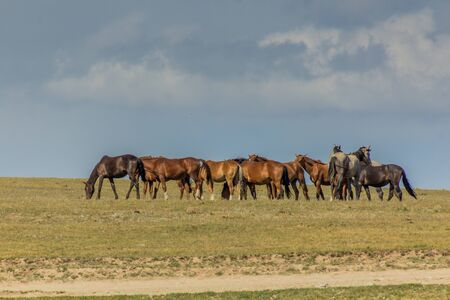 Horses on a meadow near Song Kul lake, Kyrgyzstan