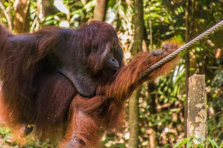 Bornean orangutan (Pongo pygmaeus) in Semenggoh Nature Reserve, Borneo island, Malaysia