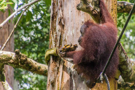 Bornean orangutan (Pongo pygmaeus) eating bananas in Sepilok Orangutan Rehabilitation Centre, Borneo island, Malaysia Banque d'images