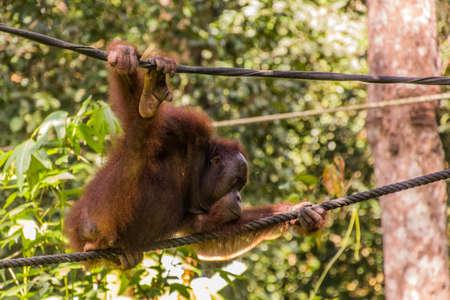 Bornean orangutan (Pongo pygmaeus) in Sepilok Orangutan Rehabilitation Centre, Borneo island, Malaysia