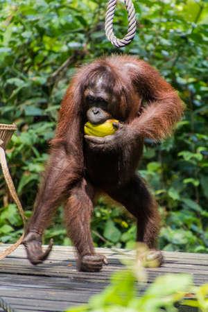 Bornean orangutan (Pongo pygmaeus) eating coconut in Sepilok Orangutan Rehabilitation Centre, Borneo island, Malaysia
