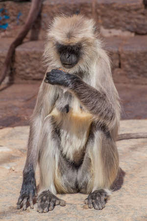 Langur monkey with a biscuit at Girnar Hill, Gujarat state, India