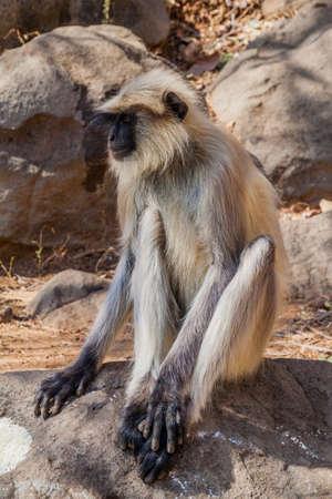 Langur monkey at Girnar Hill, Gujarat state, India
