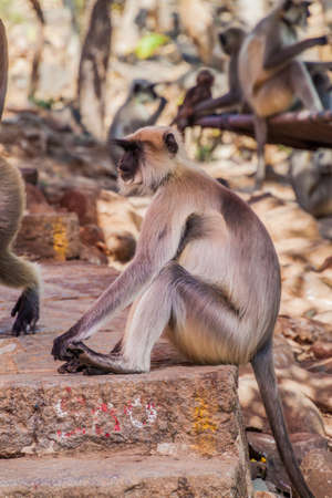 Langur monkeys at Girnar Hill, Gujarat state, India Stock fotó