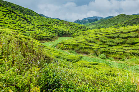 View of tea plantations in the Cameron Highlands, Malaysia