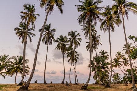 Palm grove near Las Galeras, Dominican Republic
