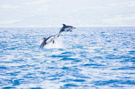 Pacific white-sided dolphins jumping in Funka-wan near Muroran city, Hokkaido Japan