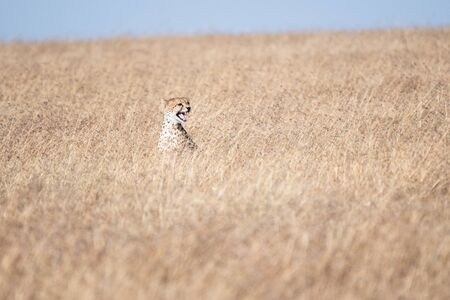 Cheetah in Masai Mara, Kenya
