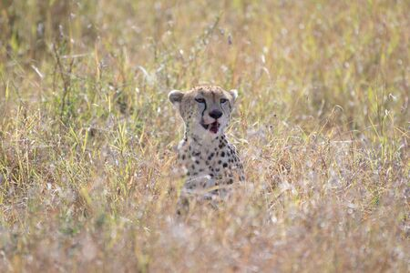 Cheetah eating in Masai Mara, Kenya