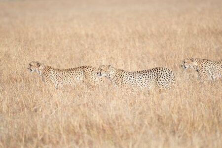 Cheetahs in Masai Mara, Kenya Reklamní fotografie