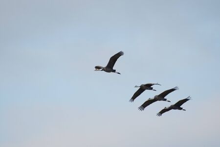 Family of hooded cranes flying in Izumi city, Kagoshima prefecture, Japan Stock Photo