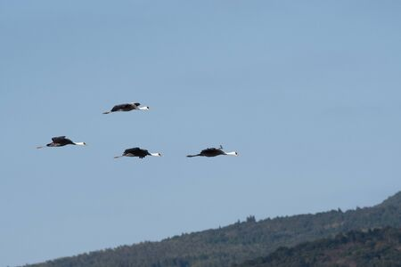 Hooded cranes flying in Izumi city, Kagoshima prefecture, Japan Stock Photo