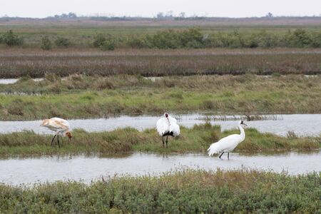 Family of whooping cranes in Aransas National Wildlife Refugee 스톡 콘텐츠