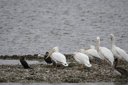 American white pelicans in Aransas National Wildlife Refugee Stockfoto