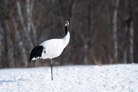 Red-crowned crane in Kushiro city, Hokkaido, Japan