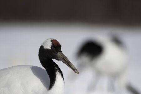 Close-up of head of red crowned crane in Kushiro city, Hokkaido, Japan Stock Photo